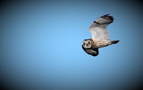Short-eared Owl 208C3756b.jpg
