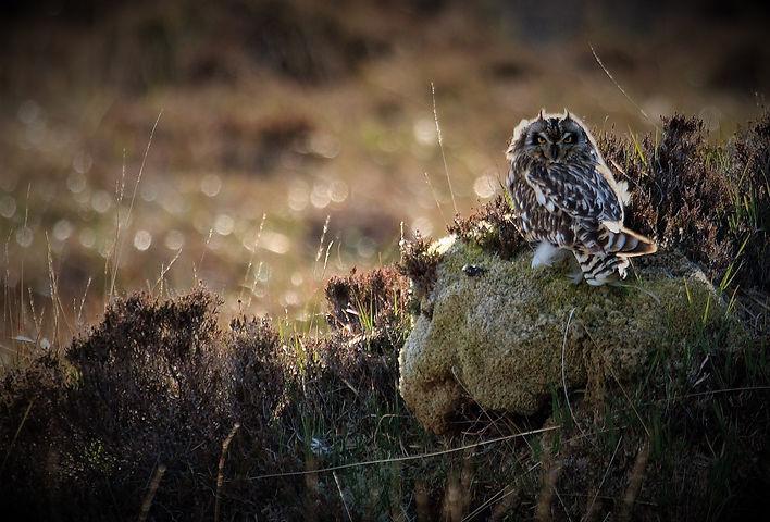 Short-eared Owl 208C2676L.jpg