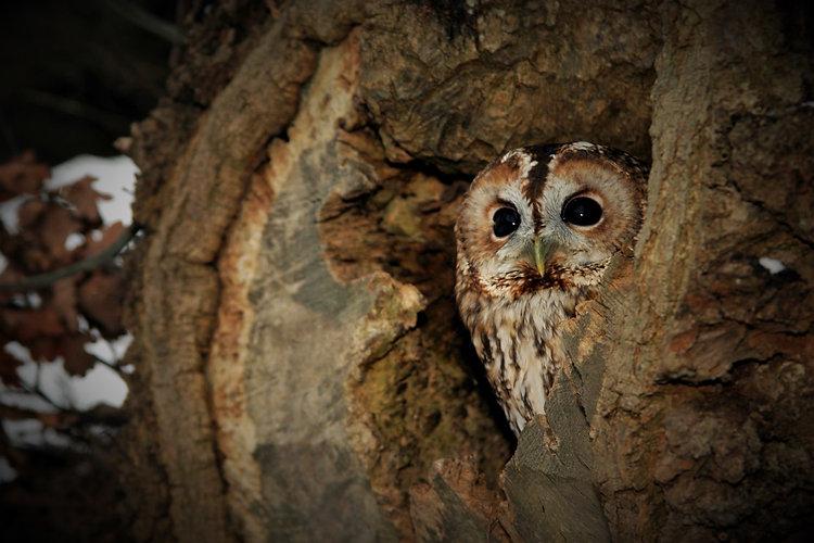 Tawny Owl 3120.jpg