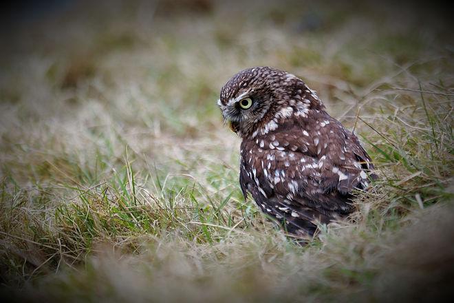 Little Owl 144.jpg
