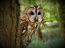 Tawny Owl 148L.jpg