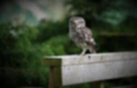 Little Owl 208C5999.JPG