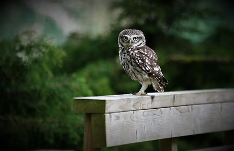 Little Owl 208C5999.JPG