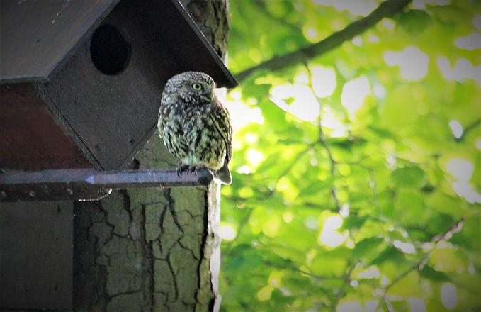 Little Owl Box Bird 208C7244.jpg