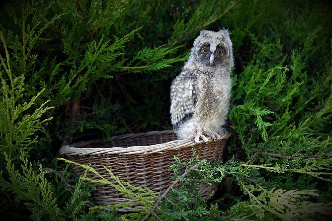 Long-eared Owl Chick.jpg