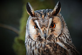 Long-eared Owl 208C1048.JPG