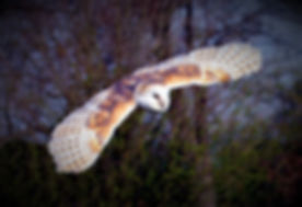 Barn Owl Flying 20.jpg