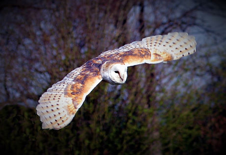 Barn Owl Flying 20.jpg
