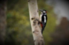 Great-spotted Woodpecker DSC_7403.JPG