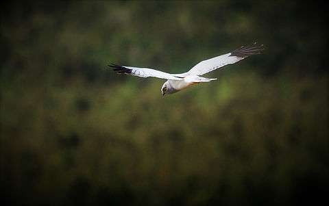 HenHarrier 208C5561 GOOD.jpg
