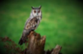 Long-eared Owl 208C0860.JPG