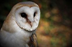 Barn Owl 255.jpg