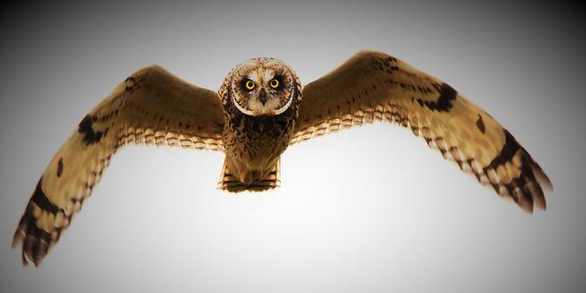 Short-eared Owl DSC_1766_edited.jpg