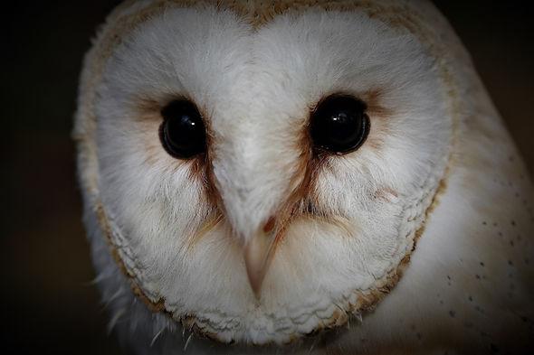 Barn Owl 253.jpg