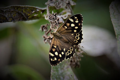 Speckled Wood Butterfly IMG_1861.JPG