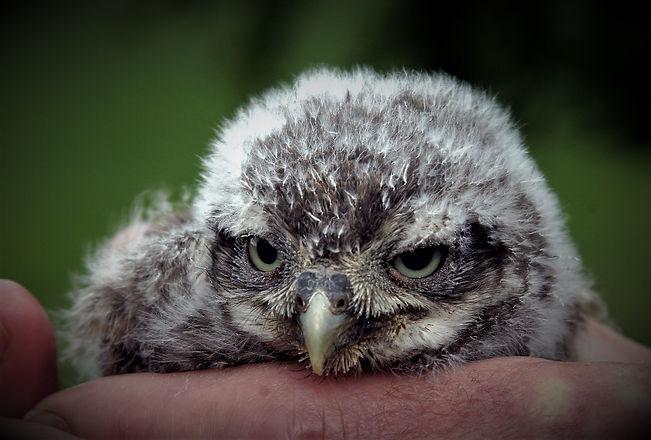Little Owl Chick 2.jpg