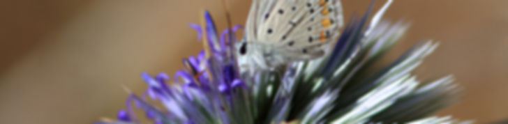 Papillon sur chardon