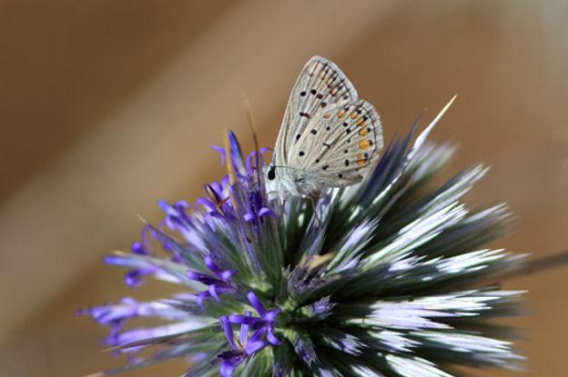 シスル上の蝶