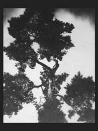 Scots pine / Pinus sylvestris