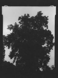 Pedunculate oak / Quercus robur