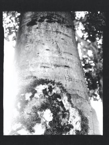 European beech 'purpurea' / Fagus sylvatica 'Atropurpurea'