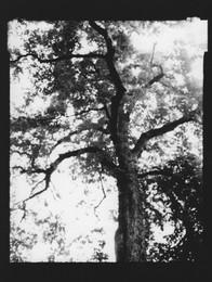 Horse chestnut / Aesculus hippocastanum