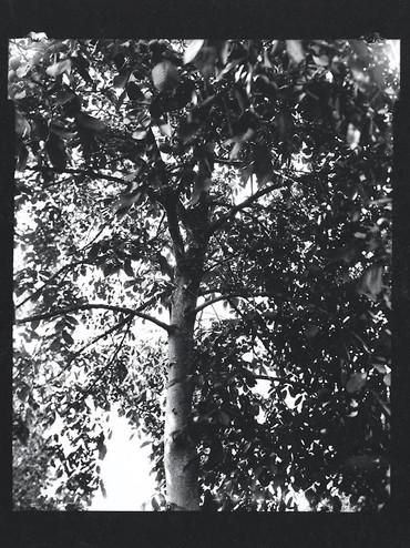 Common walnut / Juglans regia