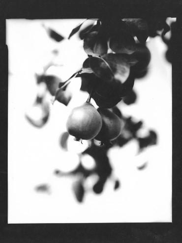 Pear / Pyrus communis