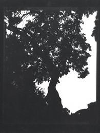 Weeping ash / Fraxinus excelsior 'Pendula'