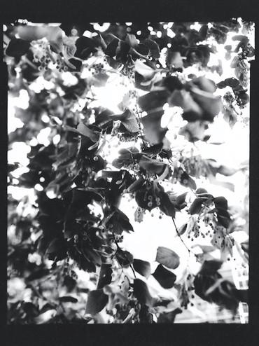 Large-leaved linden / Tilia platyphyllos