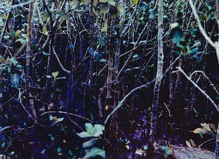 mangrove T E.jpg
