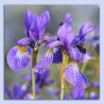 Sommer-Iris.jpg