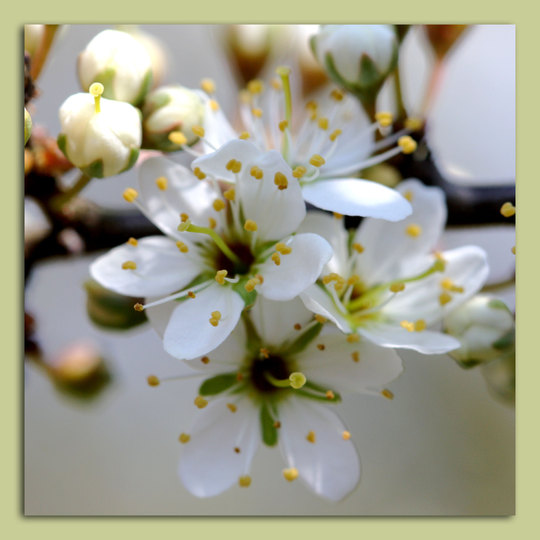 Frühling_Schlehenblüte.jpg