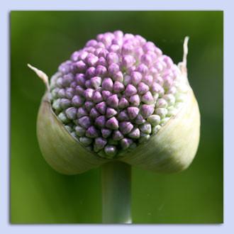 Sommer Allium.jpg