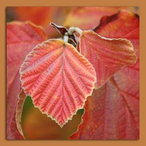 Herbst_Zaubernuß.jpg