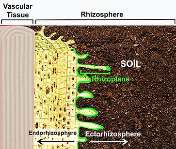 The rhizosphere explained
