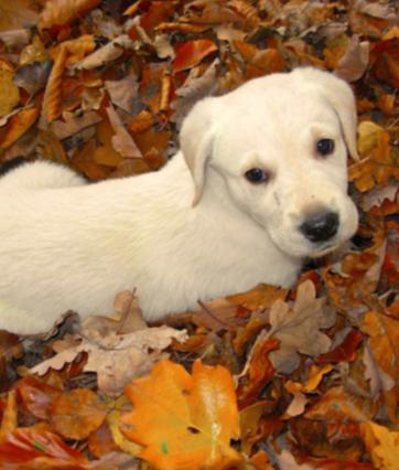 blonde labrador pup reviewlink