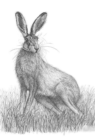 A limited edition giclee print from an original drawing of a hare