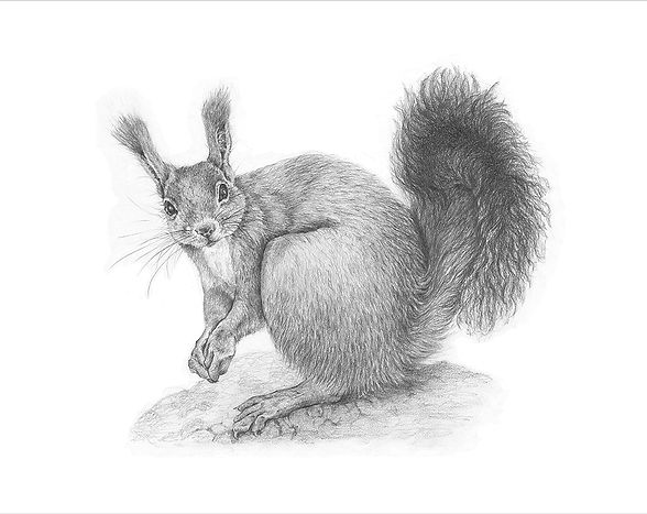 A limited edition giclee print from an original drawing of a red squirrel