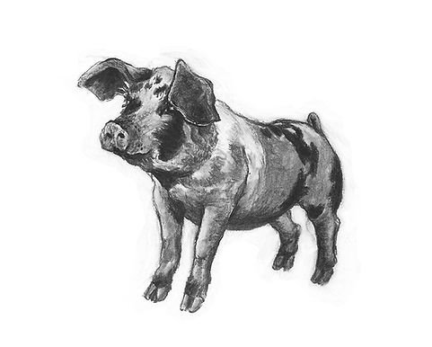 A giclee print of an original drawing of a pig