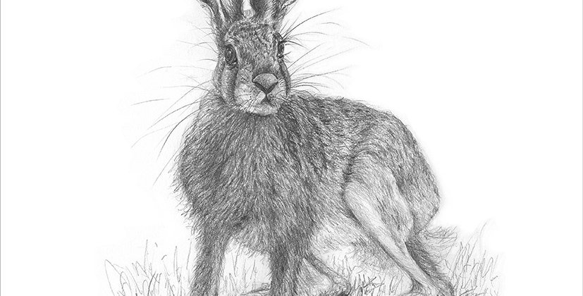 A limited edition Giclée print from an original pencil drawing of a Leveret 425mmx 300mm