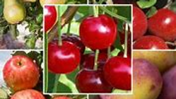 Apple Orchard Pear'adise  14oz.