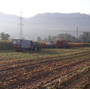 Maishäckseln in der Morgenstund