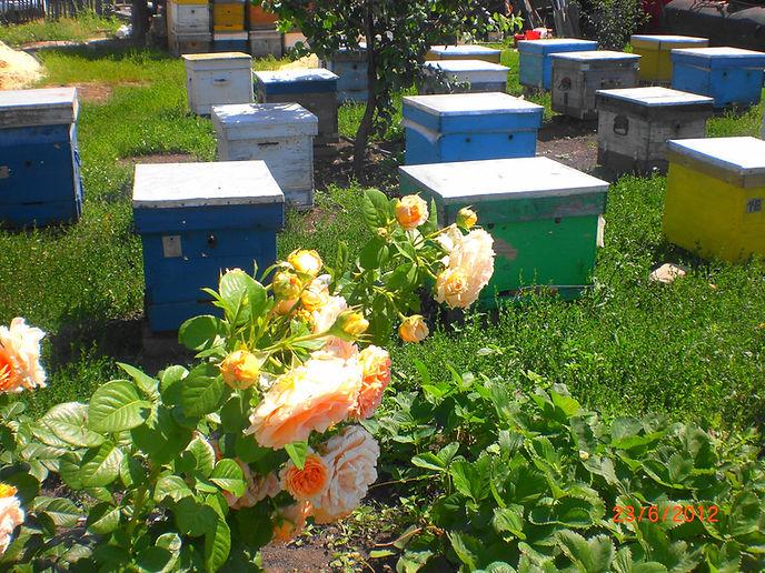 Продам пчёл, Продажа пчелосемей