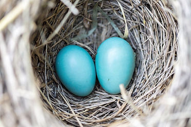blue eggs in bird nest