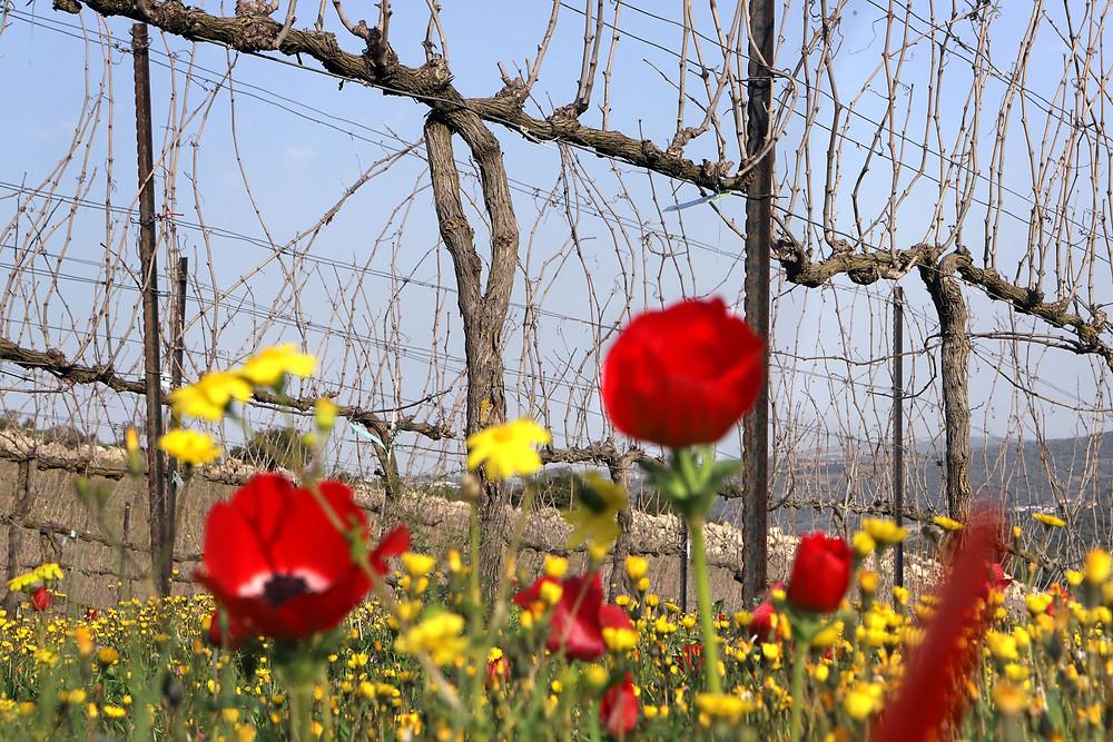Elkosh vineyard, Dalton Winery, February 2019