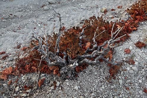 Old Vines Carignan