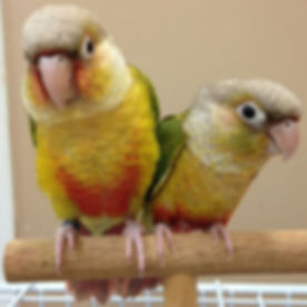 _Conure Super Sale_ Limited time only $5