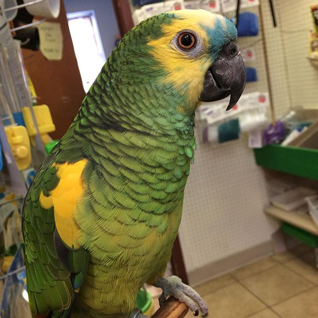 Rocky, a beautiful bluefronted Amazon is
