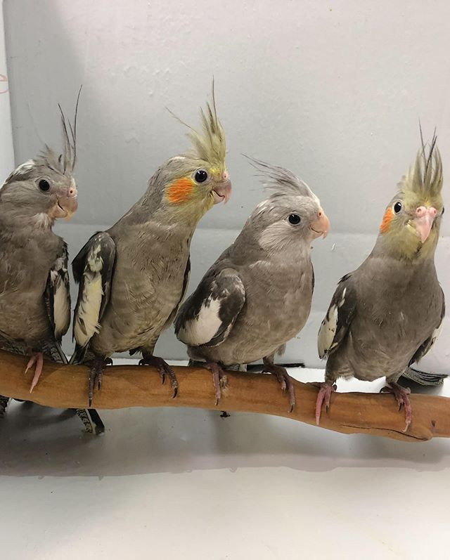 Beautiful just weaned cockatiels now in